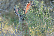 A Black-Tailed Jackrabbit (Lepus californicus) feeds on brush near Mono Lake, California. Black-Tailed Jackrabbits can run up to 35 mph (56 km/h) and leap every fifth step to check for predators.