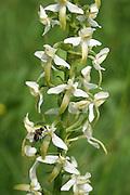 Wild orchids in Norway. Ville orkideer, fra Selbu og Tydal i Trøndelag. Grov nattfiol (Platanthera chlorantha) er en plante i marihandfamilien (orkidéfamilien). The Greater Butterfly-orchid.