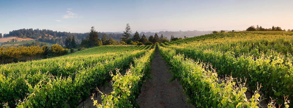 Summer sunrise in the Sebastopol Hills wine region, from Chasseur Wine's Ray Hill Vineyard in western Sonoma County.