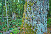 Old growth temperate rain forest in Cathedral Grove. McMillan Provincial Park. British Columbia, Canada<br /> McMillan Provincial Park<br /> British Columbia<br /> Canada
