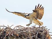 An osprey lands on it's nest on the Chesapeake Bay, MD.