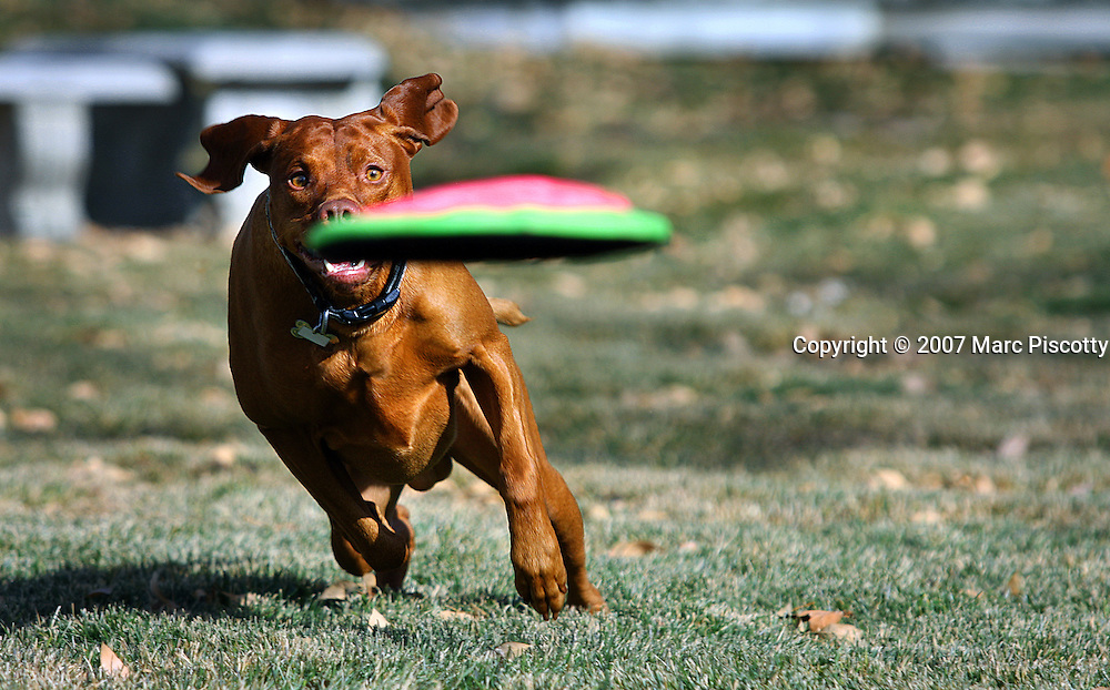 SHOT 12/25/2007 - Tanner, a three year-old male Vizsla chases after a frisbee in a park in Albuquerque, N.M. The Hungarian Vizsla (pronounced [?vi?.l?], approximately VEEZH-luh (zh as in vision)), is a dog breed originating in Hungary. Vizslas are known as excellent hunting dogs, and also have a level personality making them suited for families.The Vizsla is a medium-sized hunting dog of distinguished appearance and bearing. Robust but rather lightly built, they are lean dogs, have defined muscles, and are similar to a Weimaraner but smaller in size. .(Photo by Marc Piscotty/ © 2007)