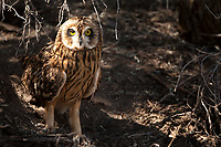 A Short Eared Owl sits on the ground under a sage bush in northern Utah. I visit this site every year because it is a nesting site and this particular Owl nests on the ground and also spends a lot of its time resting on the ground.