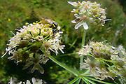 Gelbschwarze Blattwespe (Tenthredo vespa) Weibchen beim Blütenbesuch, Nektarsuche