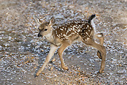 Black-tailed Deer<br /> Odocoileus hemionus<br /> Mother and three-day-old fawn<br /> Loomis, California