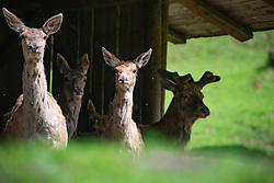 THEMENBILD - Rotwild (Cervus elaphus) im Wildpark Ferleiten, aufgenommen am 29. April 2018 in Taxenbacher-Fusch, Österreich // red deer at the Wildlife Park, Taxenbacher-Fusch, Austria on 2018/04/29. EXPA Pictures © 2018, PhotoCredit: EXPA/ Stefanie Oberhauser