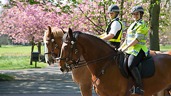 © Licensed to London News Pictures. 07/04/2017. Greenwich, UK. Two police horses are pictured in front of spring blossom in Greenwich on the day before Grand National day. Photo credit : Rob Powell/LNP