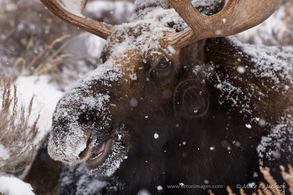 Large bull moose in a winter storm in Grand Teton National Park near Jackson, WY.