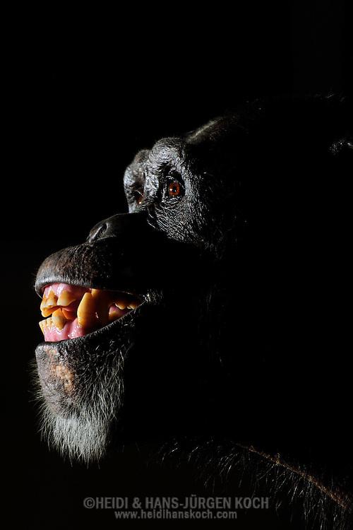 """Common Chimpanzee (Pan troglodytes) .Portrait of a chimpanzee. Shows his teeth in """"full closed grin."""" This expression is typical of excitement and fright at a relatively low level. At higher excitation would be a """"full open grin"""" typical, at which the jaws are opened. ..Gemeiner Schimpanse (Pan troglodytes).Portrait eines Schimpansen. Zeigt seine Zähne im """"geschlossenen Vollgrinsen"""". Dieser Gesichtsausdruck  ist typisch bei Erregung und Erschrecken auf einem relativ geringen Level. Bei höherer Erregung wäre ein """"offenes Vollgrinsen"""" typisch, bei dem die Kiefer geöffnet sind.."""