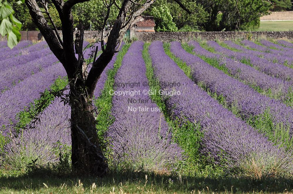 France, Auvergne-Rhône-Alpes, Drôme (26), Grignan, champs de lavande au pied du château // France, region of Auvergne Rhone Alpes, department of Drome, Grignan, lavender fields below the castle