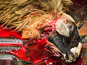 24 SEPTEMBER 2015 - BANGKOK, THAILAND: A mortally wounded ram bleeds out after being sacrificed during the celebration of Eid al-Adha at Haroon Mosque in Bangkok. Eid al-Adha is also called the Feast of Sacrifice, the Greater Eid or Baqar-Eid. It is the second of two religious holidays celebrated by Muslims worldwide each year. It honors the willingness of Abraham to sacrifice his son, as an act of submission to God's command. Goats, sheep and cows are sacrificed in a ritualistic manner after services in the mosque. The meat from the sacrificed animal is supposed to be divided into three parts. The family retains one third of the share; another third is given to relatives, friends and neighbors; and the remaining third is given to the poor and needy.     PHOTO BY JACK KURTZ