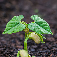 Close up of the first true, heart-shaped leaves of a bean seedling emerging from the soil.