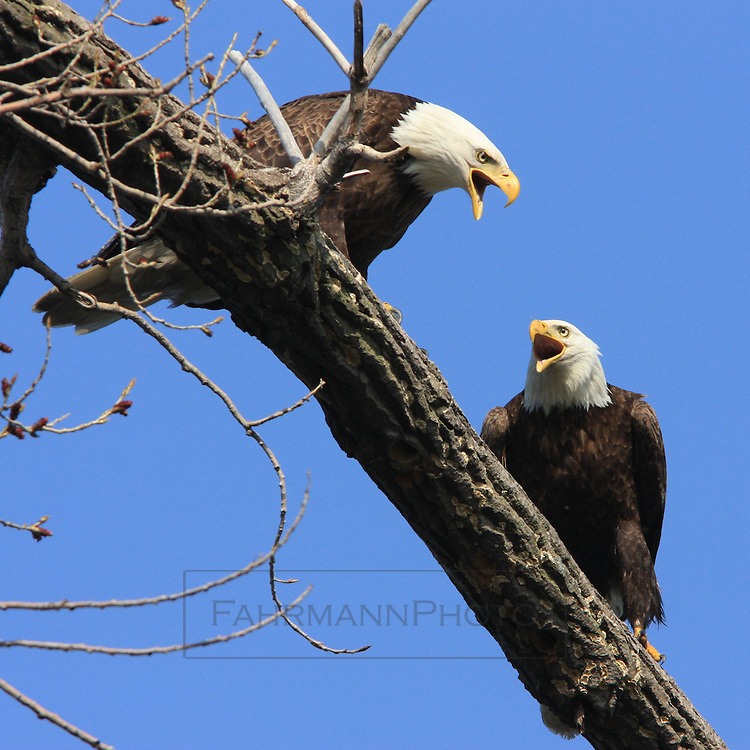 A Bald Eagle Pair interact while perched on a high branch over Lake Nokomis