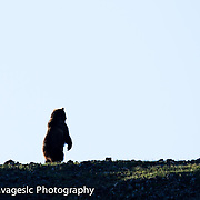 Standing grizzly bear silhouette.