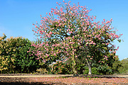 Silk Floss Tree at the San Joaquin Marsh Reserve in Irvine California