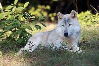 Gray Wolf in Natural Habitat