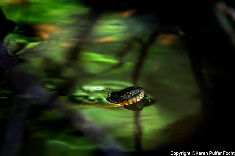 A Northern Water Snake slithers through the swamps in the upper Wolf , looking for a rock to wedge himself into, so he can watch for passing prey. While these snakes are not poisonous, they are able to mimic poisonous snakes by flattening their heads if they feel threatened. River lore speaks of poisonous snakes falling from trees onto visitors, but snakes that climb trees tend to be non-poisonous. (Spring)