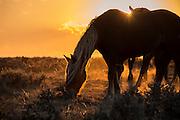 Wild Mustangs Grazing