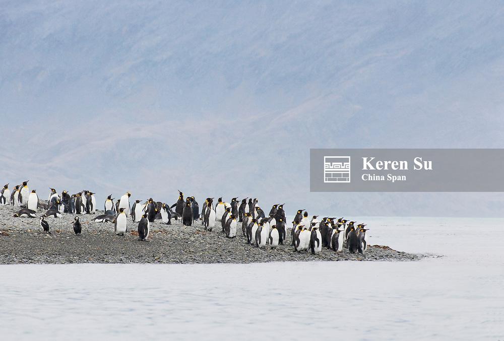 King Penguin (Aptenodytes patagonicus) Hercules Bay, South Georgia