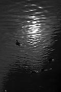 FOTOS FOR NOTHING. Zaragoza. Patos en el Canal Imperial. Silueta a contraluz. Luz y sombra.