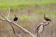Whistling Ducks perched.<br /> -South Carolina