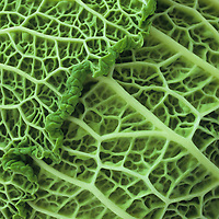 Close up detail of two heavily ribbed and veined light green leaves of Savoy cabbage or Brassica oleracea with frilly edges