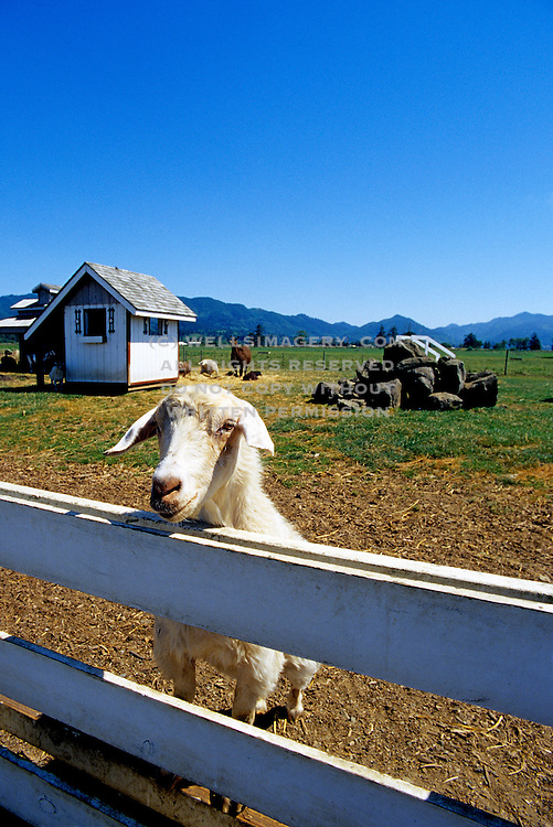 Image of a goat at the petting farm of Blue Heron French Cheese Company in Tillamook, Oregon, Pacific Northwest