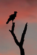 Crested Caracara (Caracara cheriway) on perch at sunset. Guanacaste, Costa Rica.