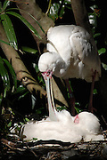 This is a photograph of two Roseate Spoonbills preening in their nest.