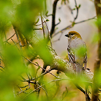 A Pine Grosbeak rests on a branch in the Chugach National Forest.