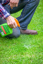Spraying a dandelion weed on a lawn with weedkiller