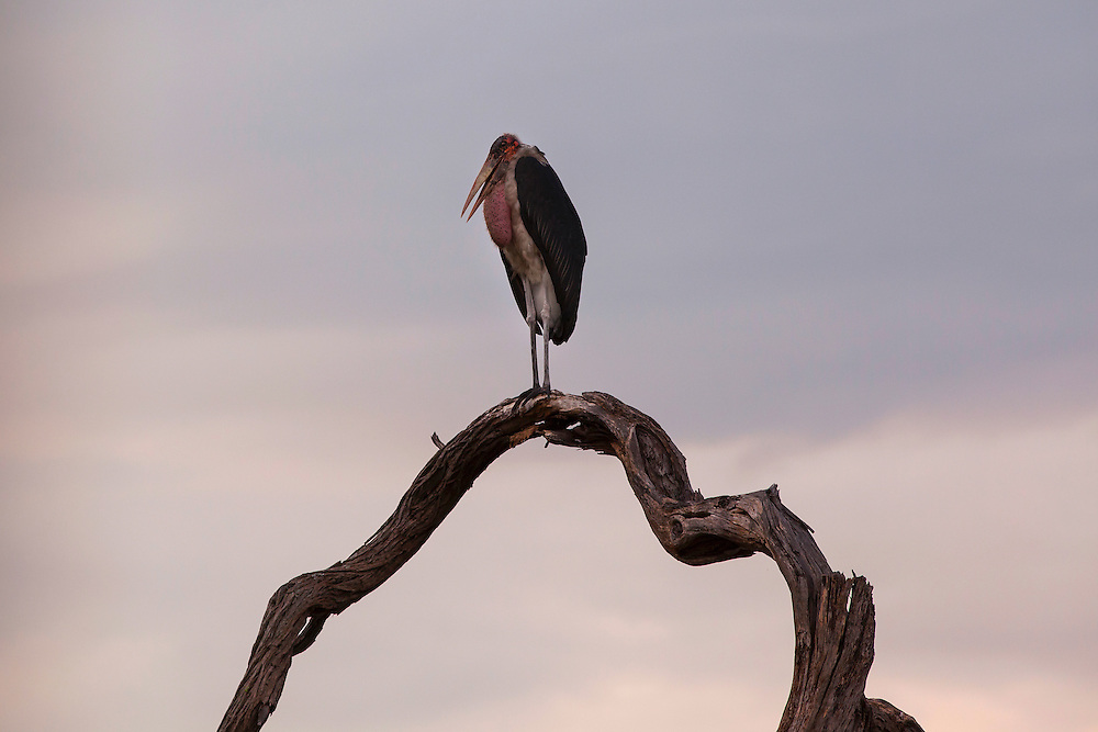 Marabou Stork on a branch at sunset, Okavango Delta, Botswana