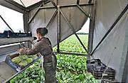 Nederland, the Netherlands, Horst, 31-7-2017         EIGENJonger arbeidskrachten uit Bulgarije, Polen en Letland oogsten een veld met ijsbergsla. In een grote mobiele schuur snijden zij de sla van de grond, stoppen hem in een plastic zak en als een tray vol is wordt die via een korte lopende band op pallets geladen en rechtstreeks in de aanhanger gezet die later door een vrachtwagen weggereden gaat worden. Efficient oogsten. Foto: Flip Franssen