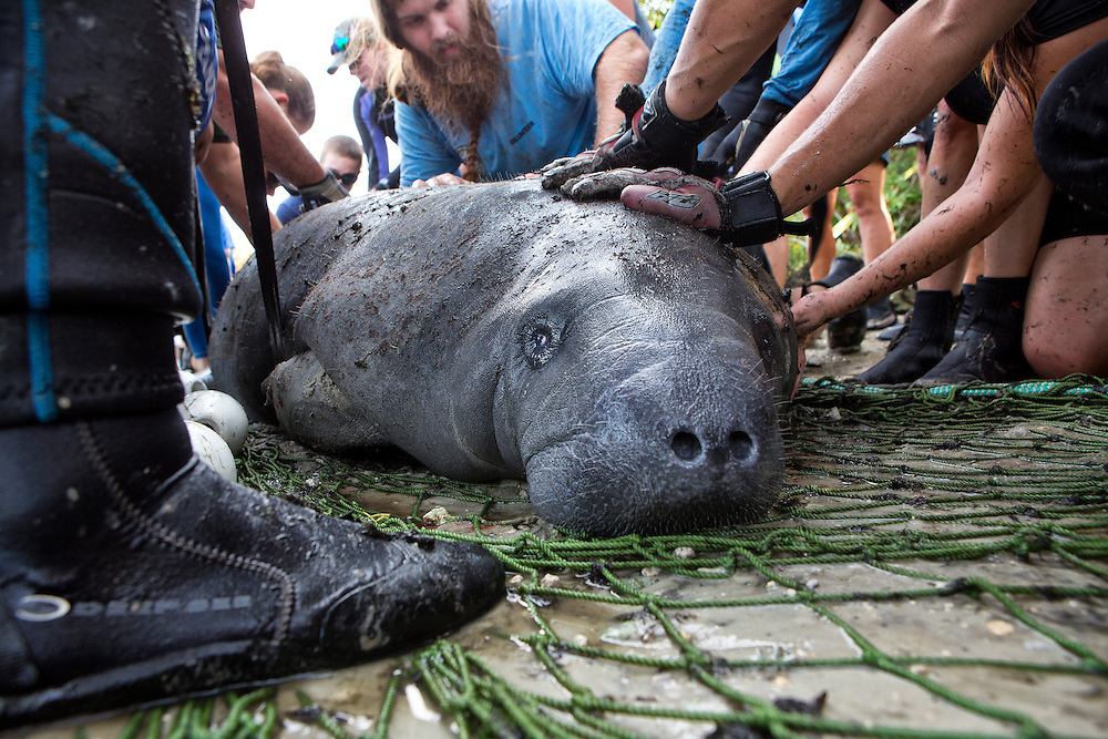 "Portrait of a West Indian manatee or ""Sea Cow"" (Trichechus manatus), being touched by human hands while   Volunteer workers with the USGS stabilize it during a health assessment.  Crystal River, Three Sisters Spring, Florida."