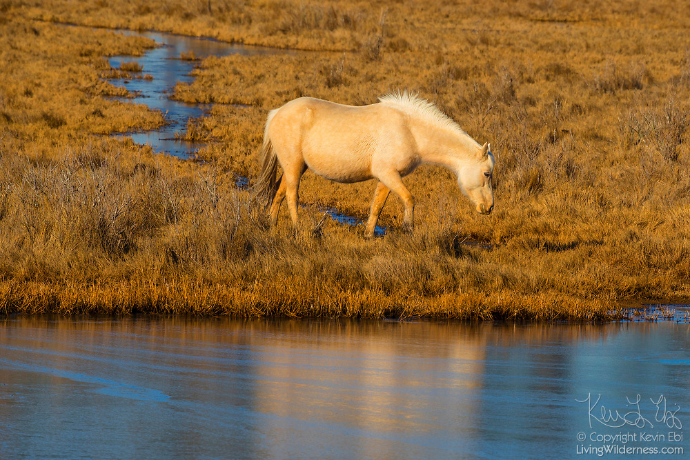A Chincoteague pony (Equus caballus), also known as an Assateague horse, walks through a marsh on Assateague Island in the Chincoteague National Wildlife Refuge in Virginia. About 300 wild — technically feral — ponies roam the island on the Atlantic coast. There is some dispute as to how the ponies ended up on the island. Some researchers believe the ponies are survivors of the wreck of a Spanish galleon, La Galga, which sank just off the coast in 1750; the U.S. Fish and Wildlife Service believes they are descendants of horses owned by early colonial settlers.