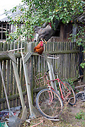 Free range roosters sitting on fence above bicycle. Zawady Central Poland