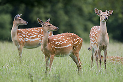 July 21, 2019 - Spotted Deer, Harrogate, Yorkshire, England (Credit Image: © John Short/Design Pics via ZUMA Wire)