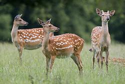 July 21, 2019 - Spotted Deer, Harrogate, Yorkshire, England (Credit Image: © John Short/Design Pics via ZUMA Wire)