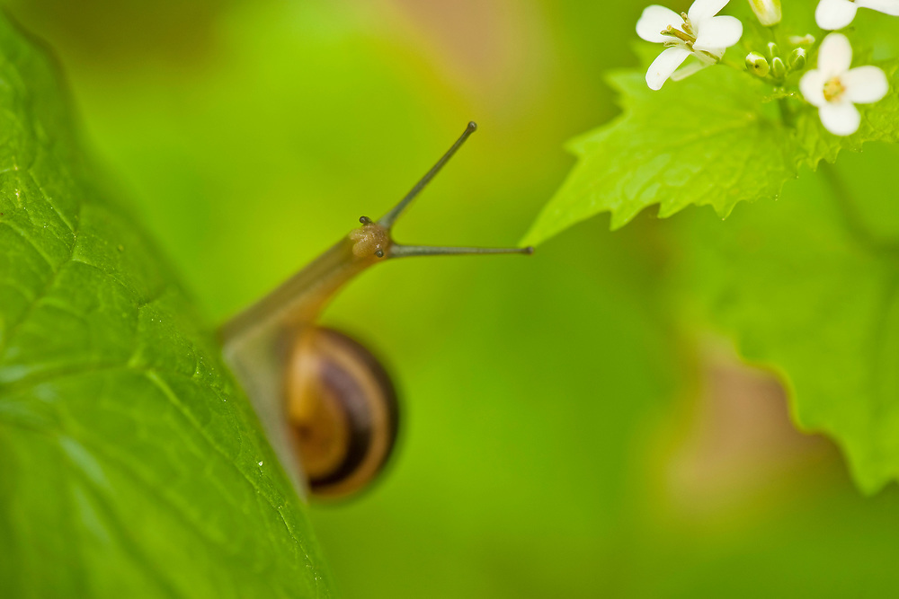 Snail on Alliaria petiolata leaves, Hallerbos forest, Belgium