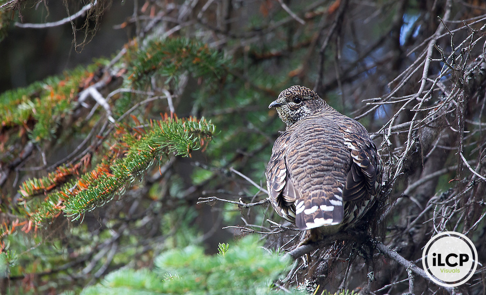 Spruce grouse in the Clearwater National Forest near Elk Summit.