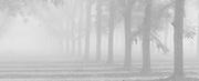 Pecan Grove and fog, Clovis, California 2015