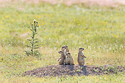Black tailed Prairie Dogs comprising a coterie look out from their burrow in a colony occupying a suburban field in Cheyenne, Wyoming.