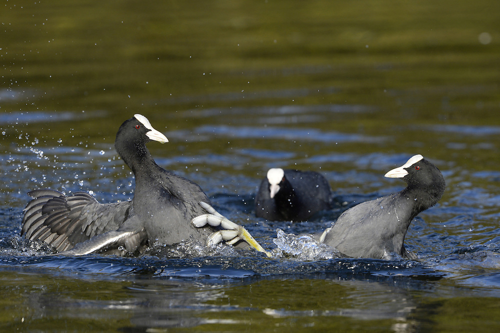 Coot - Fulica atra - Adult birds squabbling. L 36-38cm. Robust waterbird, often found with Moorhen. Has lobed toes. Feeds by upending, making shallow dives or grazing waterside vegetation. Gregarious outside breeding season. Sexes are similar. Adult has blackish plumage, darkest on head and neck. Note white bill and frontal shield on head, and beady red eye. Legs are pale yellowish. In flight, shows white trailing edge on otherwise dark, rounded wings. Juvenile has dark greyish brown upperparts and white on throat and front of neck. Voice Utters a loud kwoot call. Status Common resident, found on range of freshwater wetland habitats; numbers boosted in winter by influx of migrants.
