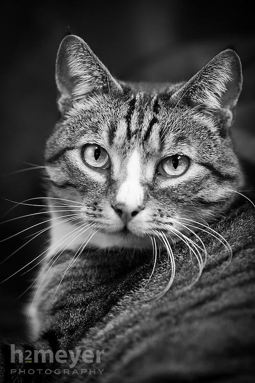 Tabby domestic short hair cat