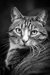 Tabby domestic short hair cat