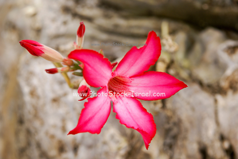 Africa, Ethiopia, Omo River Valley, Flowering Desert Rose (Adenium obesum)