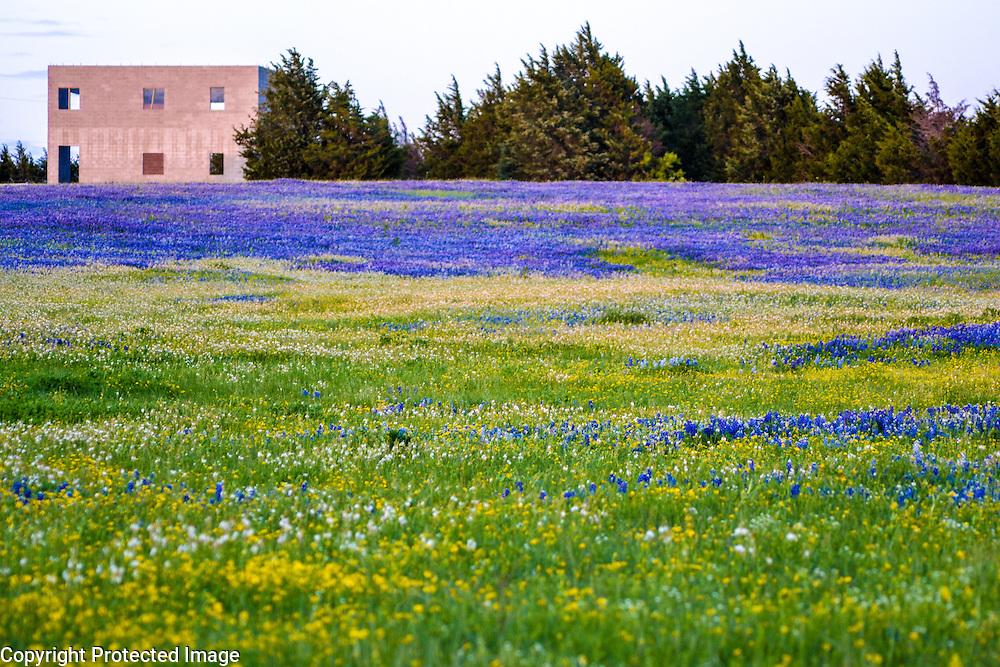 Field of bluebonnets near Ennis, TX