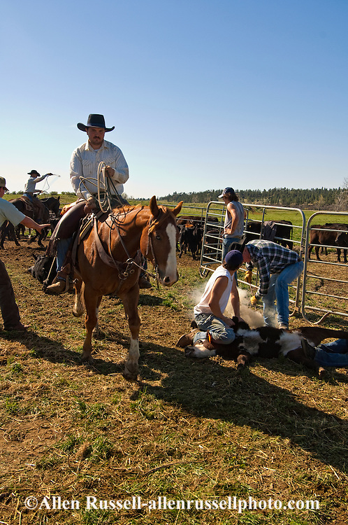 Cowboys rope and drag calves to fire, Frank Borman Ranch, eastern Montana