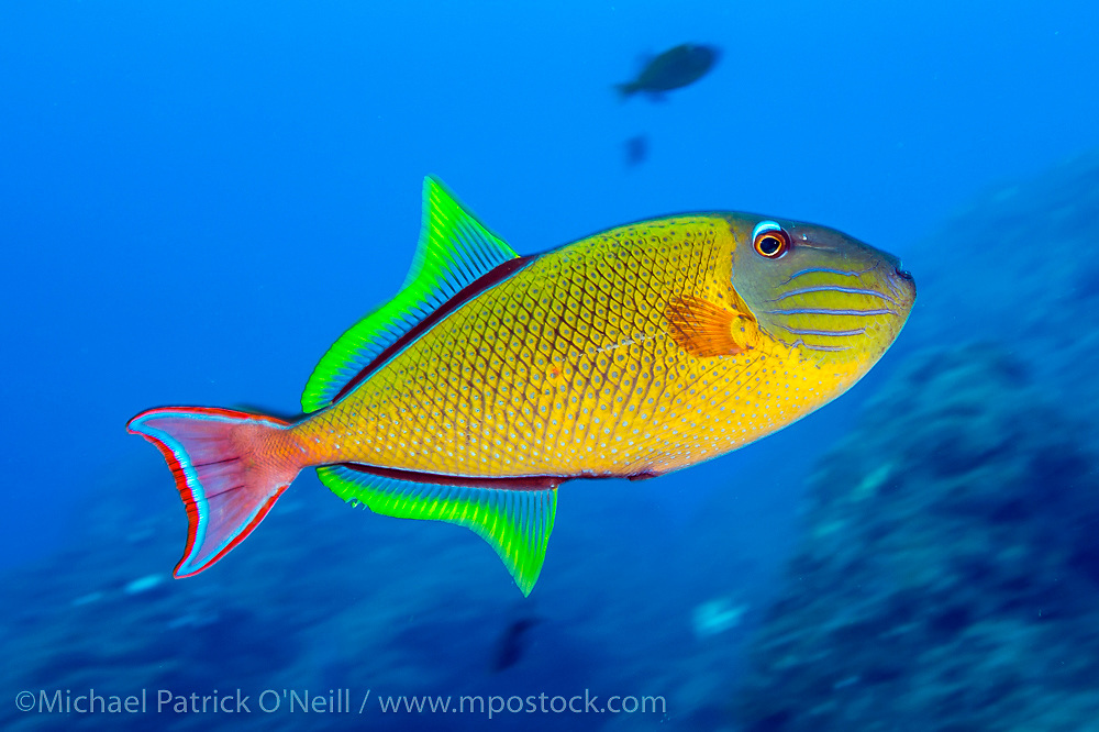 A Crosshatch Triggerfish, Xanthichthys mento, swims in the Socorro Islands, aka Revillagigedo Archipelago, 220 miles S/SW of Cabo San Lucas, Mexico.