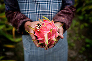 """Misako Miyagi, the widow of an Imperial Army officer, offers a dragon fruit from her garden.  She lives alone in her home in the village of Ogimi on the main island of Okinawa.  Okinawans have a complicated relationship, not only with the Americans who have bases on the island, but they also have a contentious relationship with what they describe of as """"mainland"""" Japan.  Okinawans founded the Ryukyu Kingdom.   Although their culture is considered most closely related to Japan, the Ryukyu Kingdom paid a tribute to the Emperor of China until the Satsuma of Japan's Kyushu invaded Okinawa in 1609.  Many Okinawans still resent this invasion to this day, and it could be suggested that it still colors their view of outsiders."""